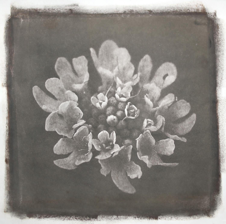 Flower- Van Dyke Print- Luca Brogi Photography